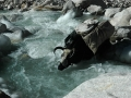 A yak almost drowns in an icy river